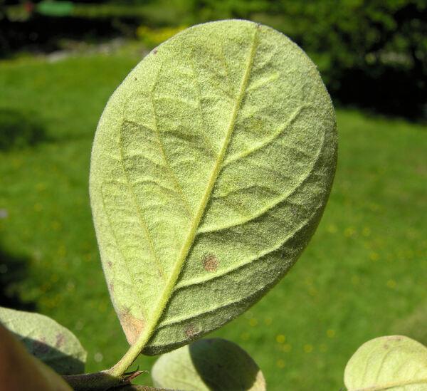 Cotoneaster nebrodensis (Guss.) K.Koch