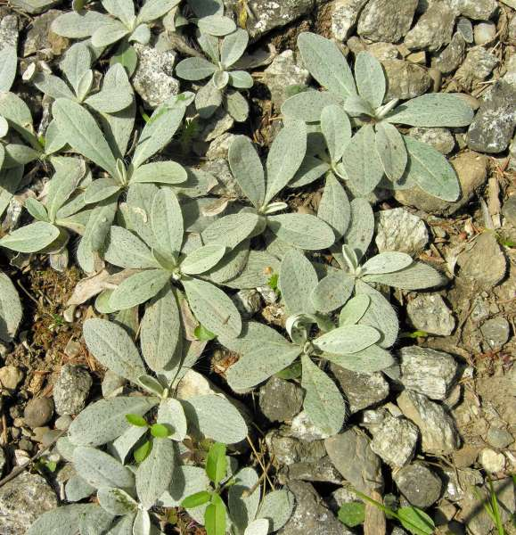 Pilosella officinarum Vaill.