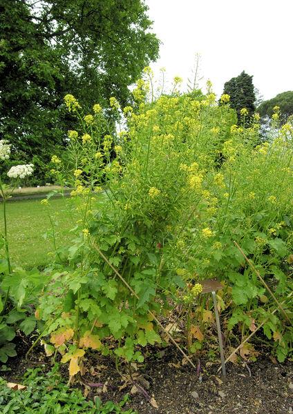 Brassica rapa L. subsp. campestris (L.) A.R.Clapham