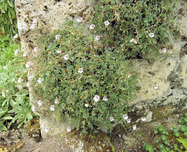 Erodium cheilanthifolium Boiss.