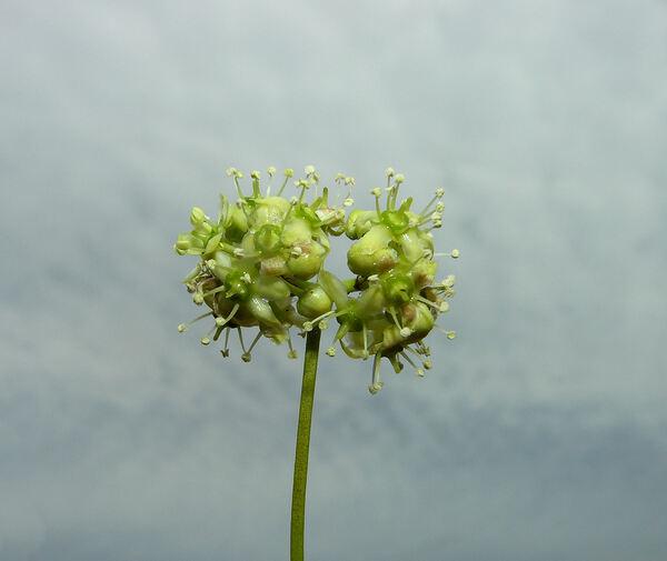 Euonymus fortunei (Turcz.) Hand.-Mazz. var. radicans (Siebold ex Miq.) Rehder