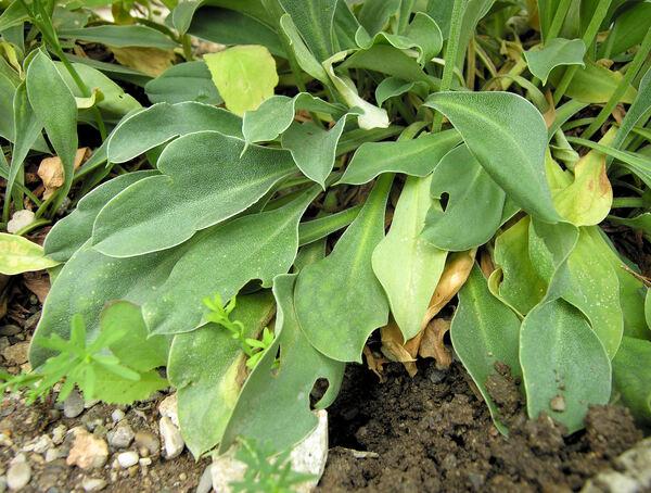Goniolimon tataricum (L.) Boiss.