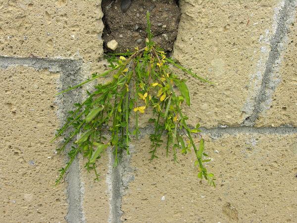 Cytisus scoparius (L.) Link subsp. maritimus (Rouy) Heywood