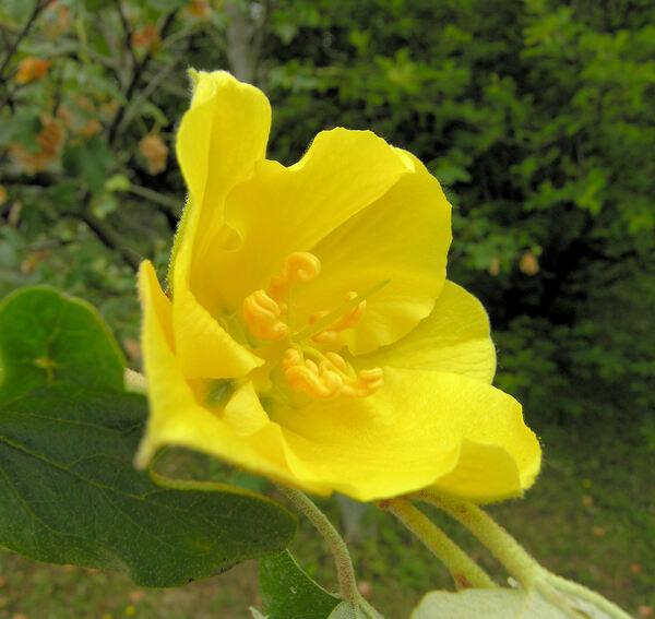 Fremontodendron californicum (Torr.) Coville