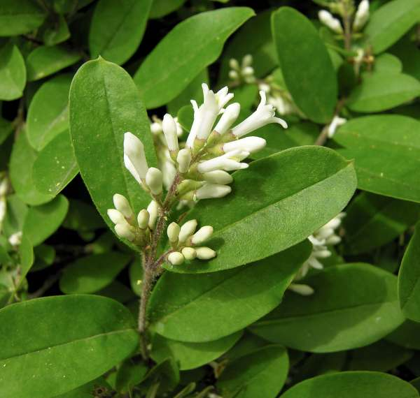 Ligustrum tschonokii Decne. var. macrocarpum (Koehne) Rehder