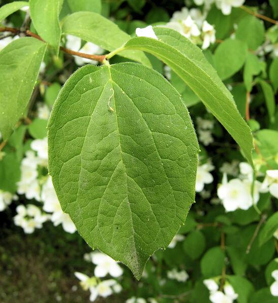 Philadelphus pubescens Loisel. var. intectus (Beadle) A.H. Moore