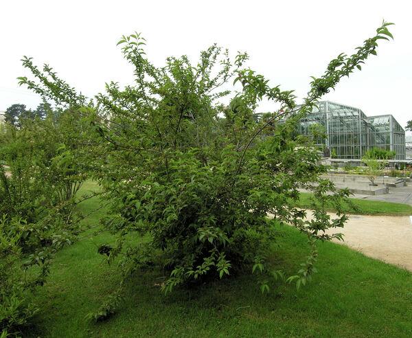 Weigela hortensis (Siebold & Zucc.) K. Koch
