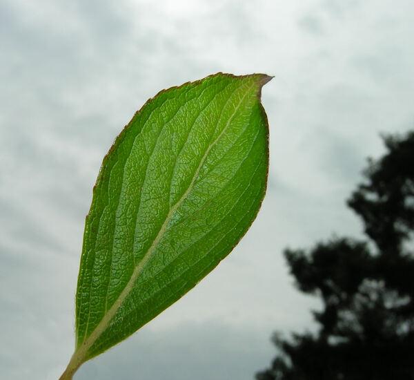 Weigela coraeensis Thunb.