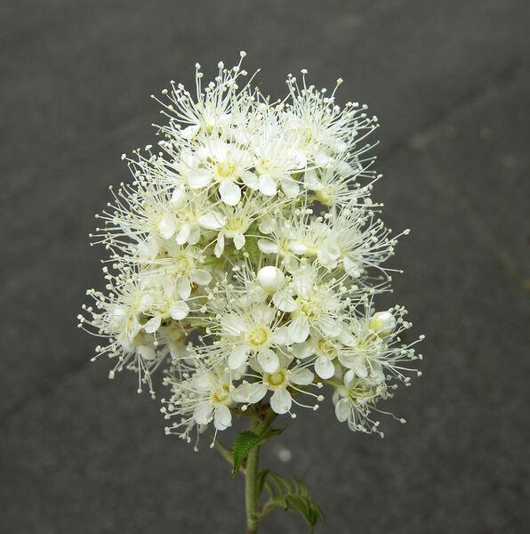 Sorbaria sorbifolia (L.) A.Braun