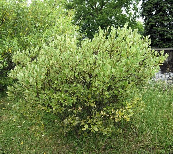 Salix bicolor Willd.