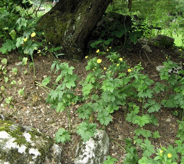 Ranunculus acris L. subsp. friesianus (Jord.) Syme