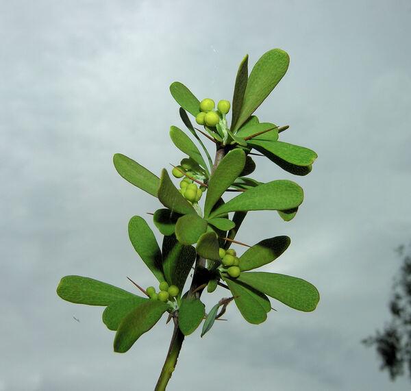 Berberis wilsoniae Hemsl.