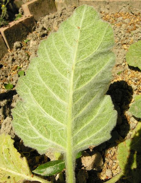 Salvia argentea L.