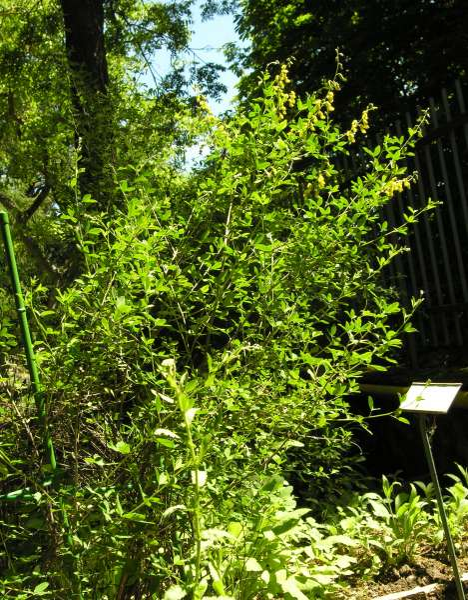 Cytisus nigricans L. subsp. nigricans