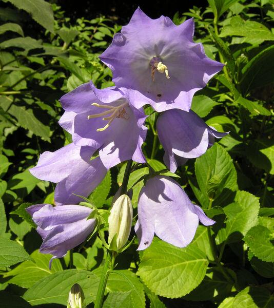 Campanula persicifolia L. subsp. persicifolia