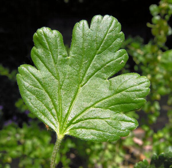 Ribes uva-crispa L. subsp. uva-crispa