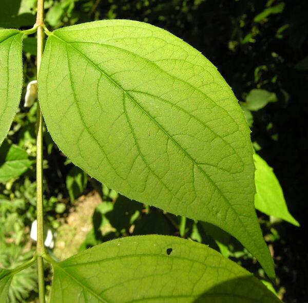 Philadelphus magdalenae Koehne