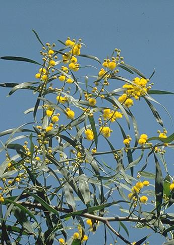 Acacia cyanophylla L.