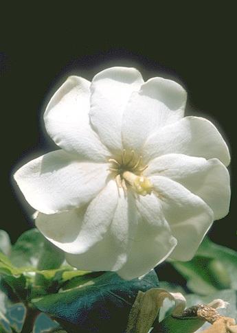 Gardenia thunbergia L. f.