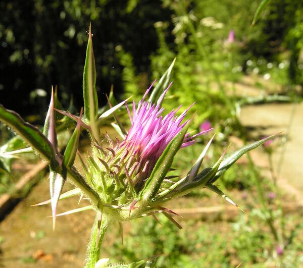 Notobasis syriaca (L.) Cass.