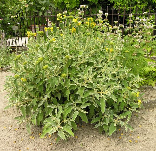 Phlomis fruticosa L.