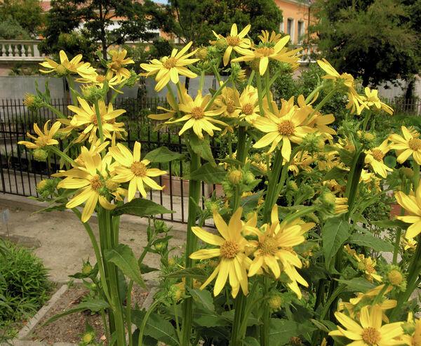 Verbesina alternifolia (L. ) Britton ex Kearney