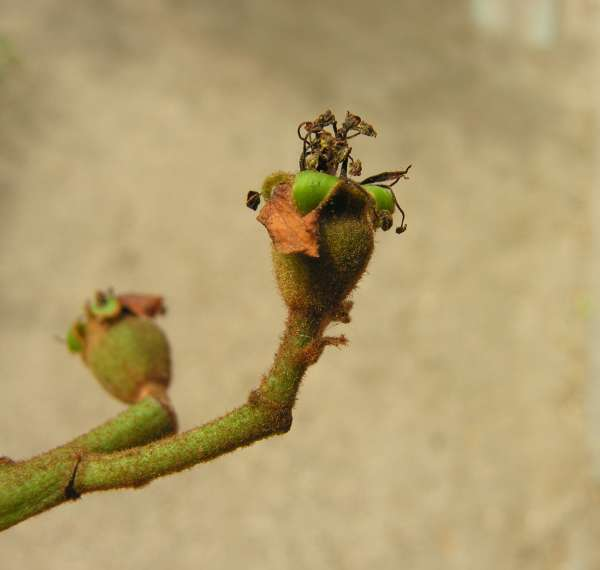 Eriobotrya deflexa (Hemsl.) Nakai