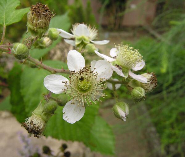 Rubus fruticosus L. s.l.