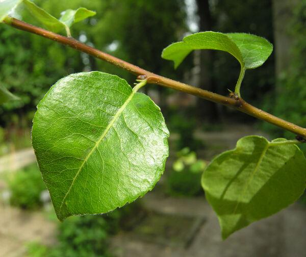 Pyrus communis L. subsp. pyraster (L.) Ehrh.