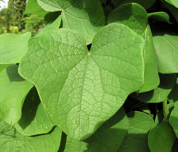 Menispermum canadense L.