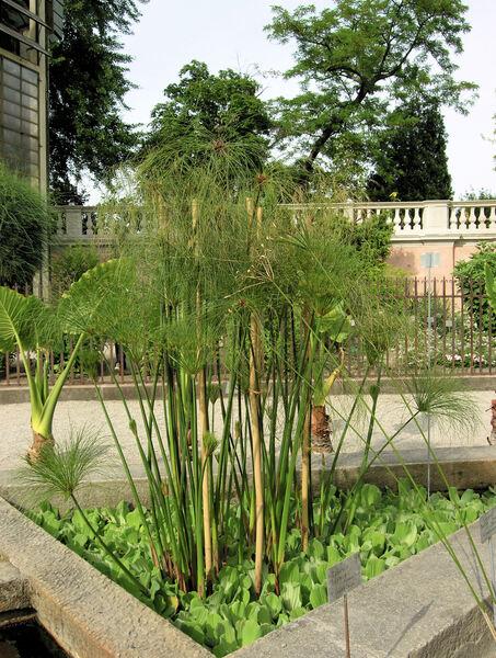 Cyperus papyrus L. subsp. siculus (Parl.) Chiov.