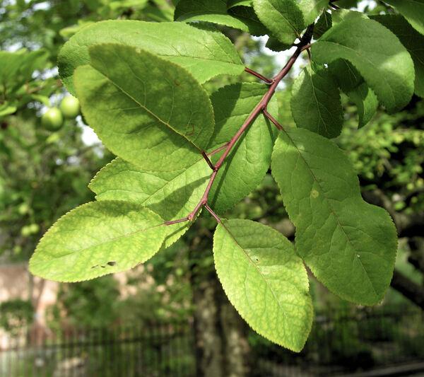 Prunus americana Marshall