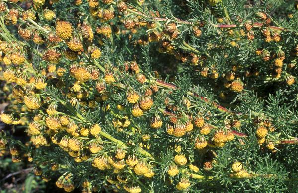 Artemisia chamaemelifolia Vill. subsp. chamaemelifolia
