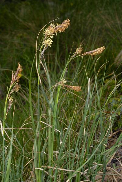 Carex fimbriata Schkuhr