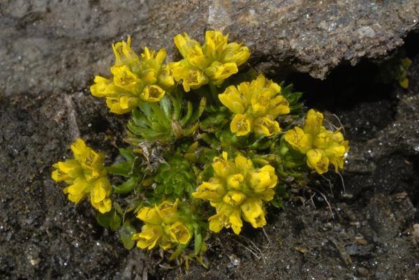 Draba hoppeana Rchb.