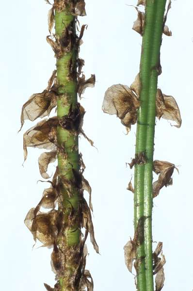 Dryopteris expansa (C.Presl.) Fraser-Jenk. & Jermy var. alpina (T.Moore) Viane