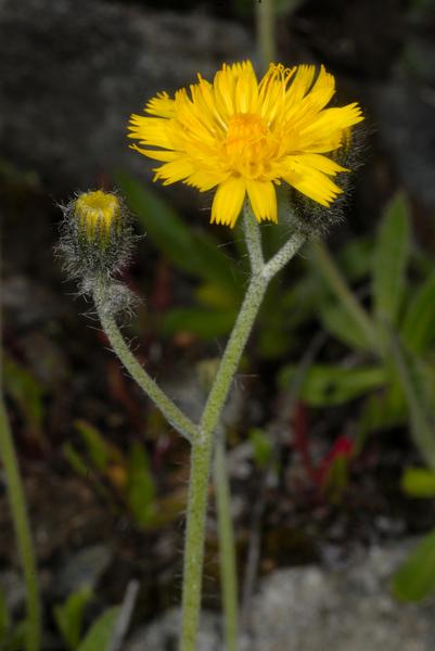 Pilosella glacialis (Reyn. ex Lachen.) F.W.Schultz & Sch.Bip.