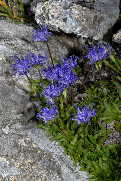 Phyteuma globulariifolium Sternb. & Hoppe subsp. pedemontanum (Rich.Schulz) Bech. ex Greuter, Burdet & G.Long