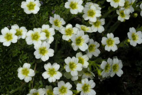 Saxifraga muscoides All.