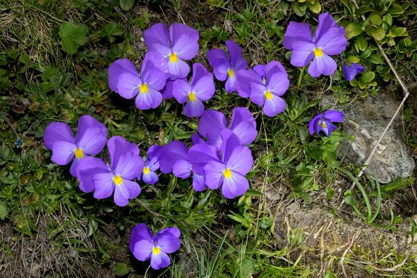 Viola calcarata L.