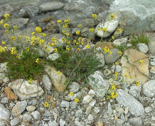 Coincya cheiranthos (Vill.) Greuter & Burdet subsp. montana (DC.) Greuter & Burdet