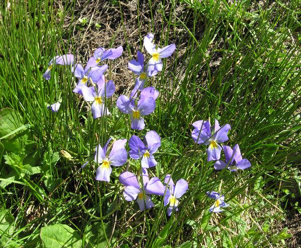 Viola calcarata L. subsp. calcarata