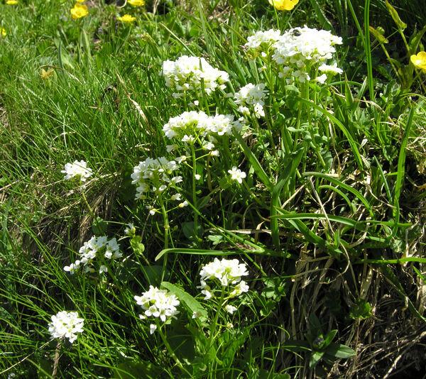 Noccaea sylvia (Gaudin) F.K.Mey.