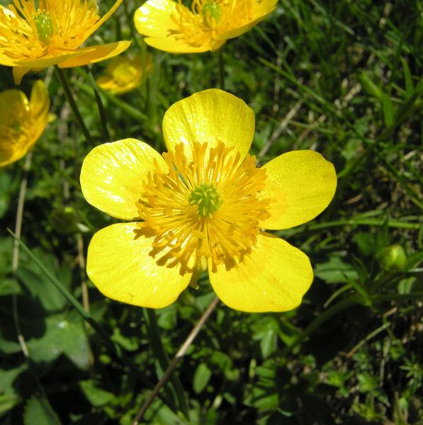 Ranunculus montanus Willd.