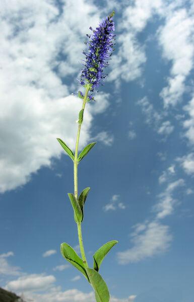Veronica spicata L. subsp. spicata