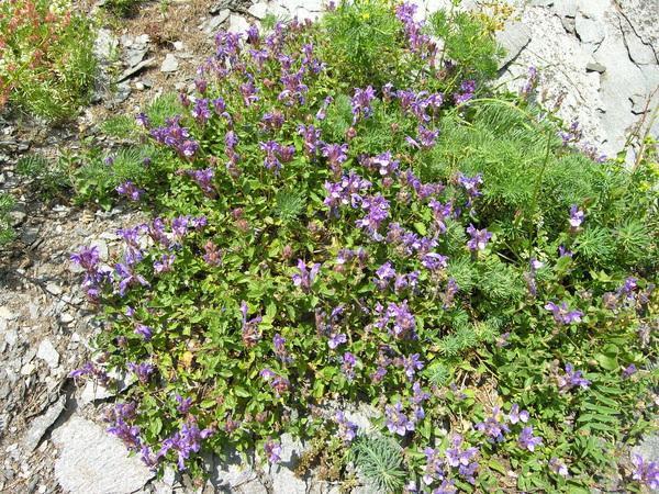 Scutellaria alpina L. subsp. alpina