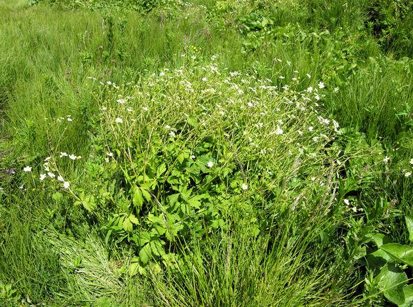 Ranunculus aconitifolius L.