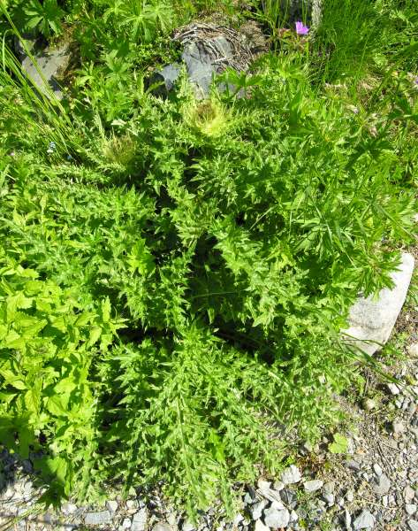 Cirsium bernardense G. L. Pavarino