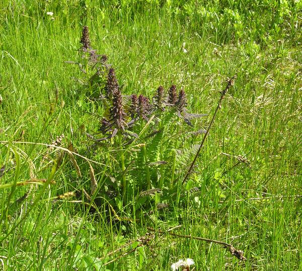 Pedicularis recutita L.