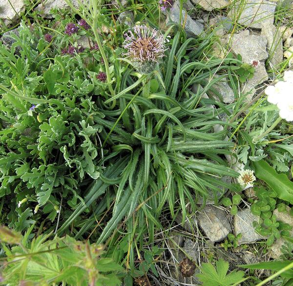 Saussurea pygmaea (Jacq.) Spreng.